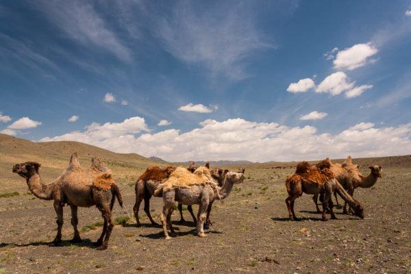 Kamele, Gobi, Wüste, Mongolei