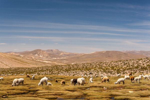 Alpaka, Peru
