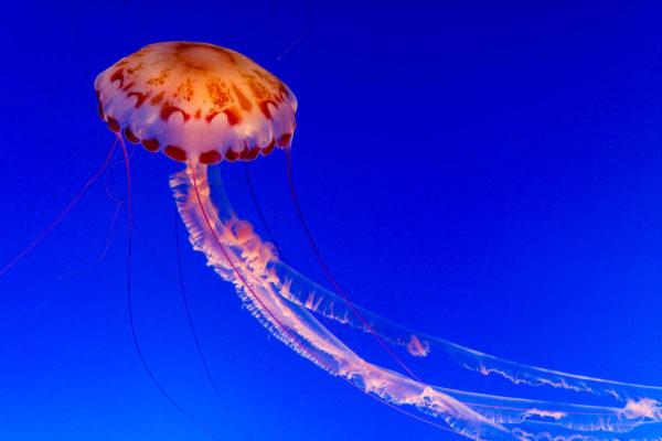 Qualle, Aquarium, Monterey
