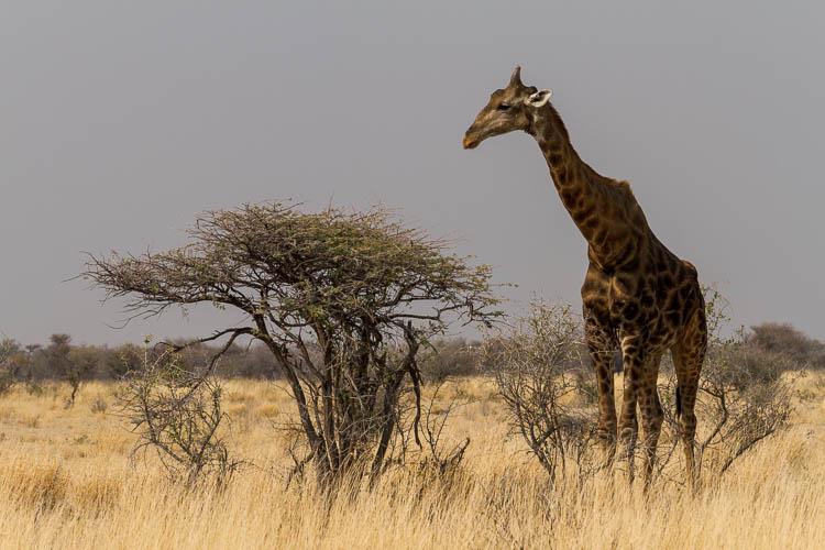 Giraffe, Etosha