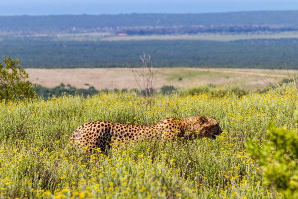 Gepard, Addo Elephant National Park