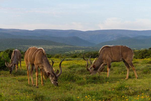 Kudu, Addo Elephant National Park