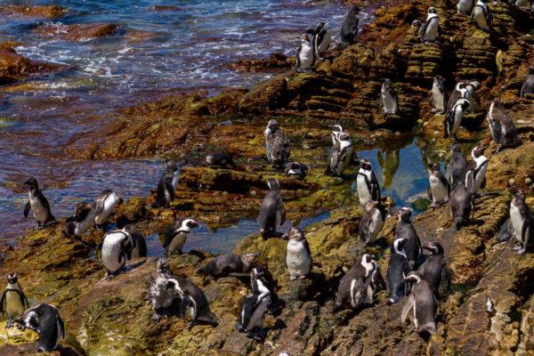 Pinguine, Bettys Bay, Südafrika