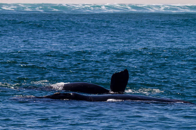 Wale, Hermanus, Südafrika