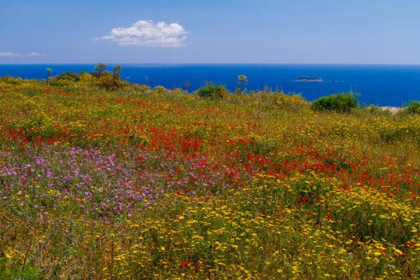 Mohn, Malta, Dingli