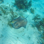 Die Rochen in Stingray City (Grand Cayman)