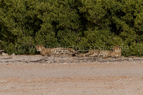 Geparden auf Sir Bani Yas