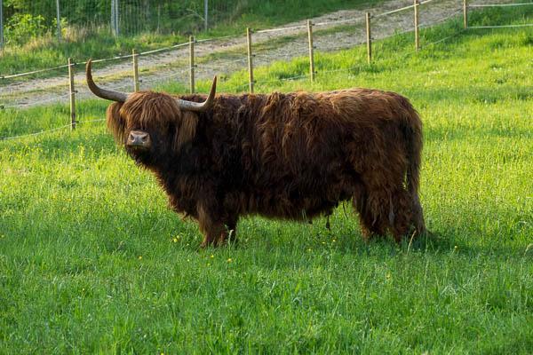 Highland Cattle in Untereggersdorf
