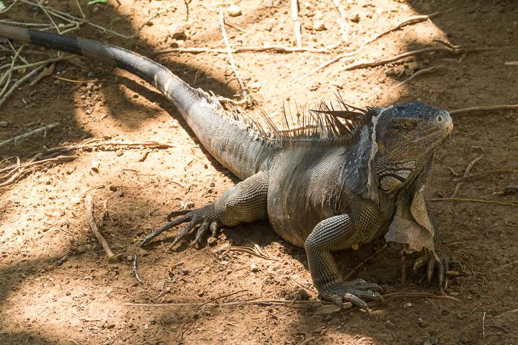Iguana, Gumbalimba Park