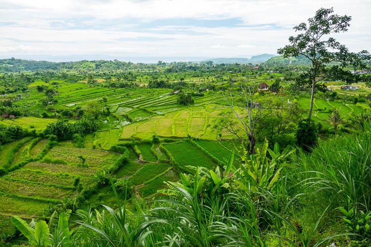 Reisterassen, Bali