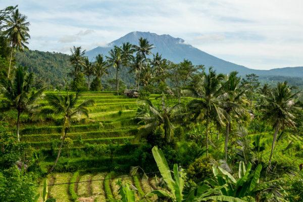 Reisfelder, Bali