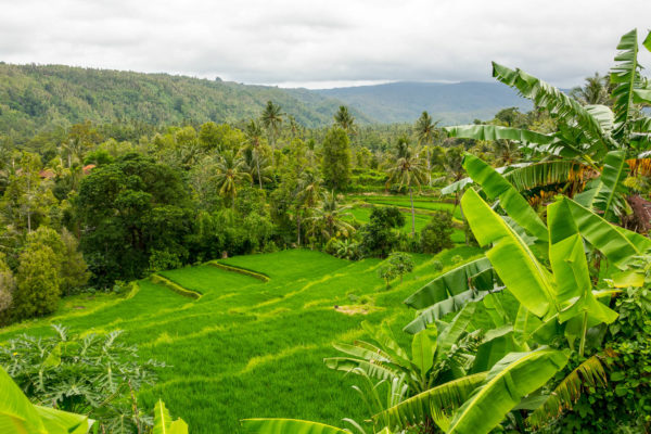 Reisfeld, Bali