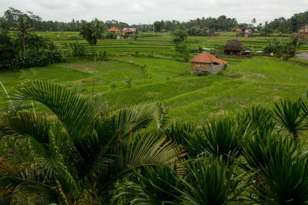 Ubud, Reisfelder, Bali