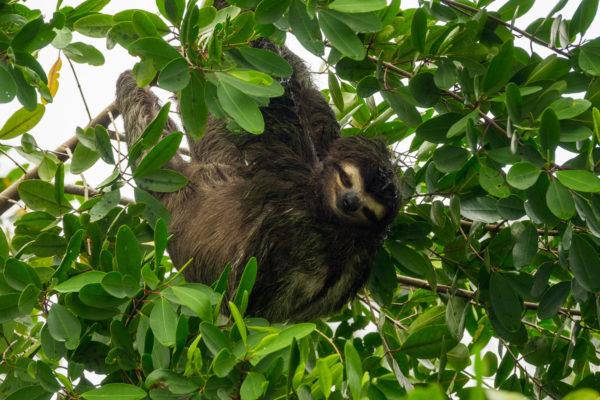 Faultier, Costa Rica, Tortuguero