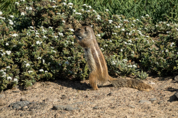 Steifenhörnchen, Fuerteventura